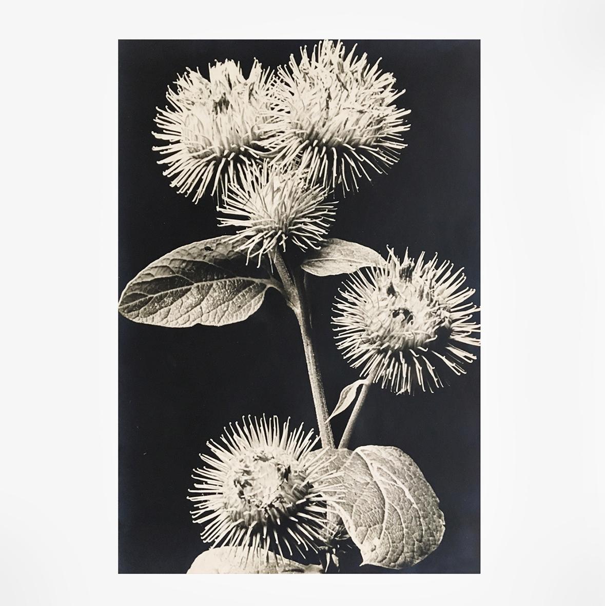 Dr. Paul Wolff & Alfred Tritschler | Klettenblüte | Photography, silver gelatin print | Germany | 1931 | basedonart gallery