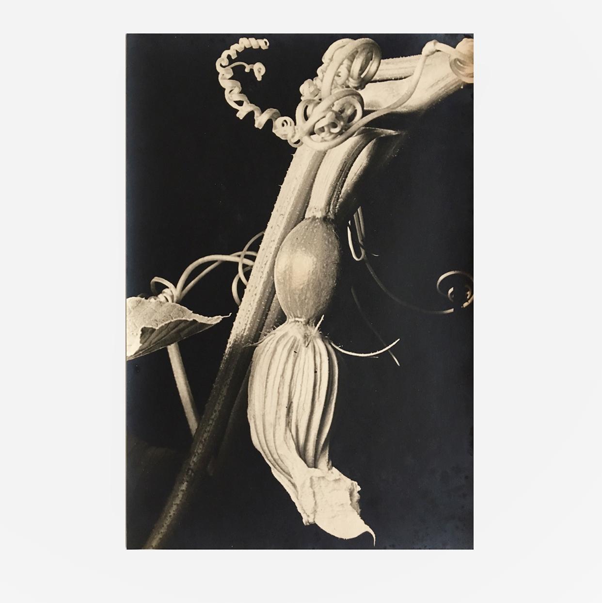 Dr. Paul Wolff & Alfred Tritschler | Zucchiniblüte |Photography, silver gelatin print | Germany | 1931 | basedonart gallery